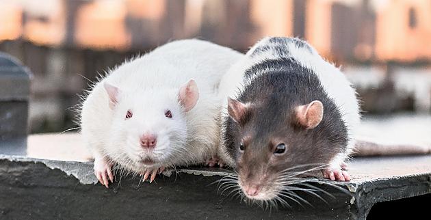 Potkani si vybírají, ským tráví čas ikomu se vyhýbat, zjistili vědci
