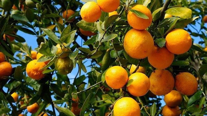 Kdy můžete ovoce zvolně rostoucího stromu otrhat a kdy je to přestupek?