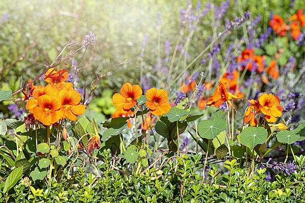 Lichořeřišnice, přírodní antibiotikum i kvetoucí krasavice do salátů