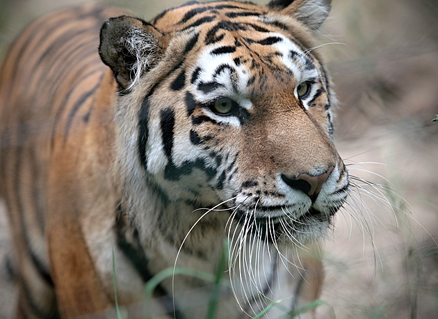 Tygr v plzeňské zoo se dočkal nové partnerky, chovatelé doufají v mláďata