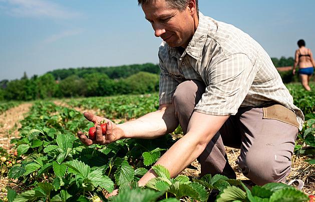 OBRAZEM: Sklizeň jahod má zpoždění, ale začalo se už sbírat i z pole