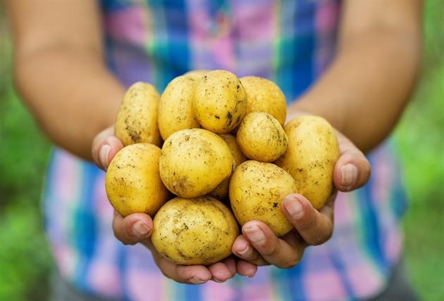 Pěstitelé čekají dobrou sklizeň brambor, pokles cen bude pozvolný