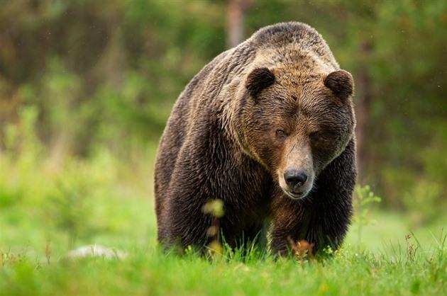 Medvěd na Slovensku zabil člověka, stalo se to poprvé za posledních sto let
